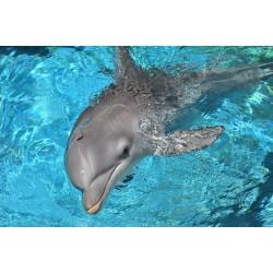 پوستردیواری طرح دلفین باهوش کد F004